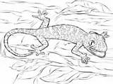 Coloring Pages Gecko Lizard Lizards Supercoloring Reptiles Realistic Tokay sketch template