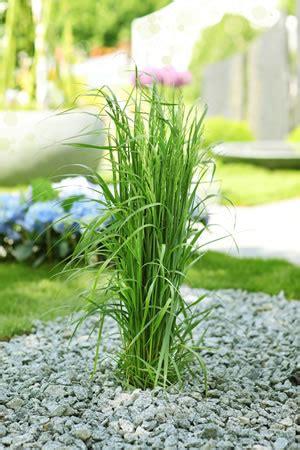 Schilfgräser  Schilfpflanzen Im Garten  Pflege Und