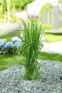 Garten Ohne Gras : schilfgr ser schilf pflanzen im garten pflege und schneiden ~ Sanjose-hotels-ca.com Haus und Dekorationen
