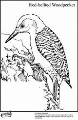 Woodpecker Coloring Pages Bellied Bird Drawing Birds Cartoon Preschool Winter Wnc Nature Headed Drawings Title Adult Teamcolors Woodpeckers Google Colors sketch template