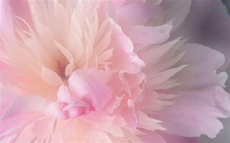 Imagem de Fundo - Flor cor de rosa claro