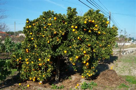citrus sinensis oranger toutes les plantes avec florum
