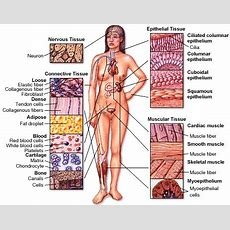 Think Science » Tissues Main Categories