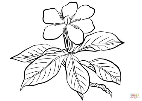 Gardenia Drawing by Gardenia Augusta Coloring Page Free Printable Coloring Pages