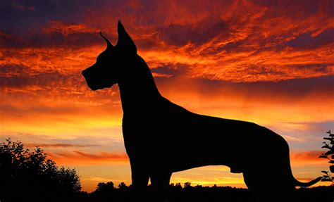 Great Dane Wallpapers, Pictures, Images