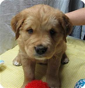 Grumpy   Adopted Puppy   Manchester, CT   Chow Chow Mix