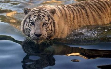Best Love Some Beautiful Tiger Images Pinterest