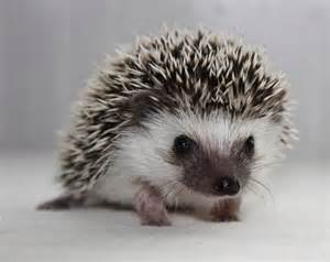 the 25 best ideas about pygmy hedgehog on pinterest