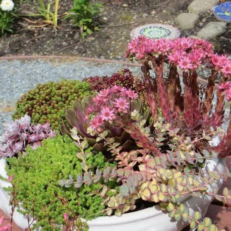 vaso piante grasse giardini piante grasse per esterno ac95 pineglen