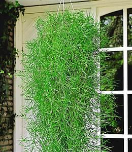 Bambus Pflege Zimmerpflanze : h ngender bambus 39 green twist 39 bambus bei baldur garten ~ Frokenaadalensverden.com Haus und Dekorationen