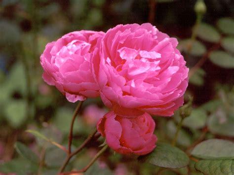 pink david roses top 28 pink david roses best 20 david austin roses ideas on pinterest pink david austin