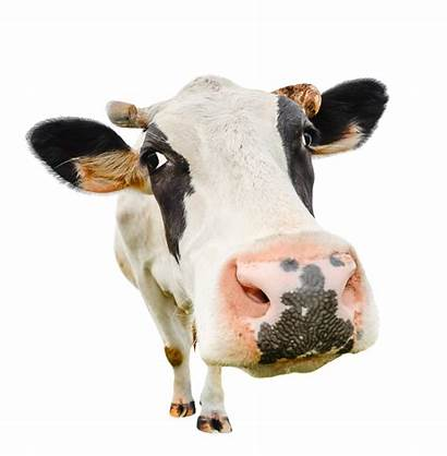 Cow Funny Animals Farm Camera Looking Isolated