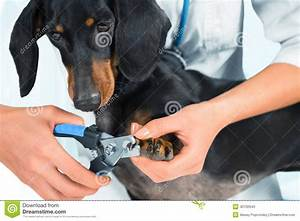 stock photos doctor veterinarian trimming dog nails unrecognizable woman dachshund image