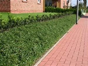 Pflanzen Zur Hangbefestigung : teppichmispel kriechmispel 39 radicans 39 cotoneaster dammeri 39 radicans 39 baumschule horstmann ~ Frokenaadalensverden.com Haus und Dekorationen