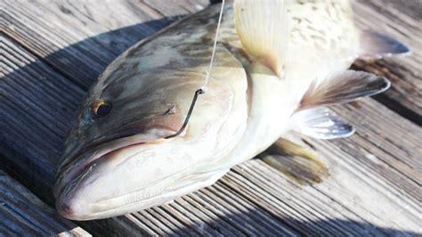 bait fishing grouper amberjacks