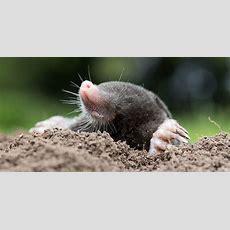 Moles  National Wildlife Federation