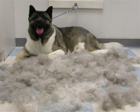 double coated dog owners deal  coat blow