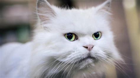 cat bipolar signs behavior purrfectlove