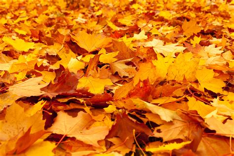 Fall Backgrounds Yellow by Yellow Maple Leaves Free Stock Photo Domain Pictures
