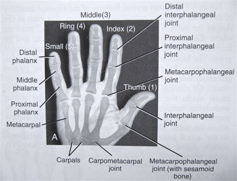 Notes Anatomy Physiology The Hand Tiger