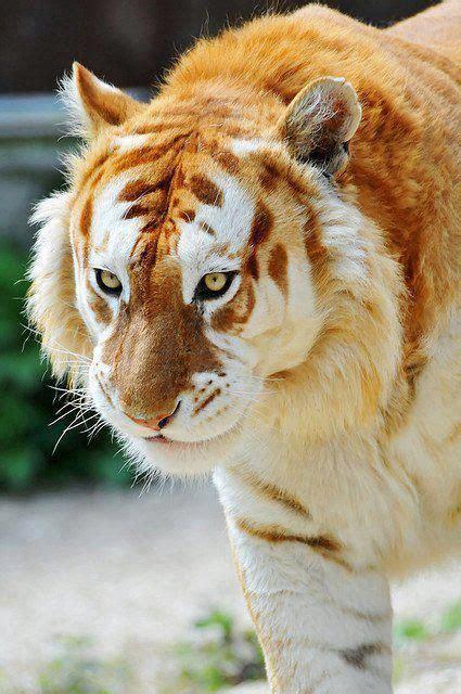 Rare Golden Tiger Beautiful Animals