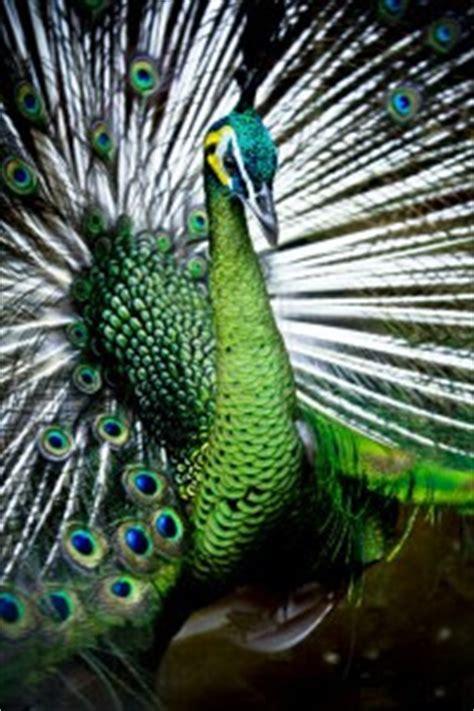 funny peacock wallpaper uk funny animal