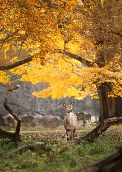 deer  yellow leaves forest autumn scenery autumn