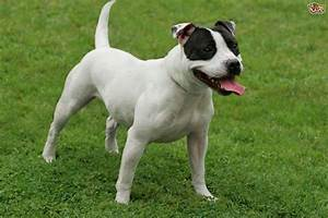 Staffordshire Bull Terrier | Dog Breed Facts, Highlights ...