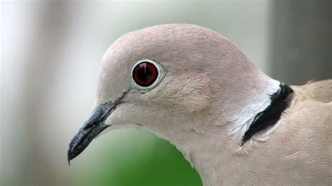 grey dove with black ring around neck eurasian collared dove you seen this bird cool green science