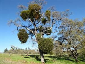 Pics For > Parasitic Plants Mistletoe