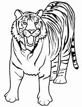 Tiger Coloring Bengal Roaring Loud Pages sketch template