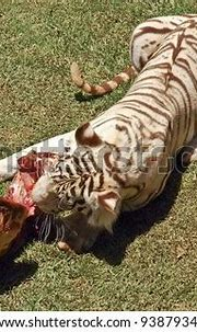 White Bengal Tiger Eating Meat On Stock Photo 9387934 ...