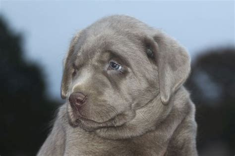 light silver labs silver labs  sale breeder
