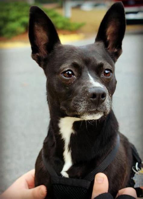 bochi boston terrier chihuahua designer dogs