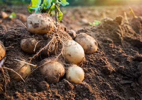 wann kartoffeln pflanzen kartoffelsorten liste und eigenschaften im 220 berblick