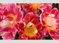 Flower Pink Red Love Beautiful Heart Eternal Roses Nature