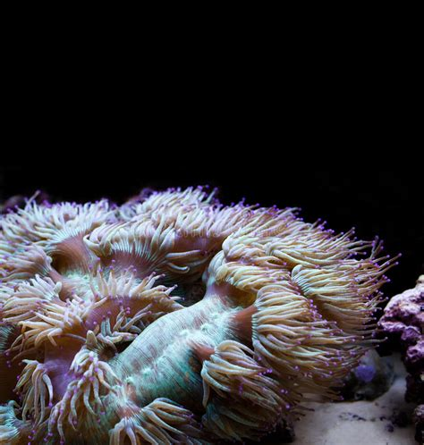 invertebrates marine actiniaria marinos invertebrados marino intertidal rocky zone planta bali coral aquarium mar polyps squid move archivo