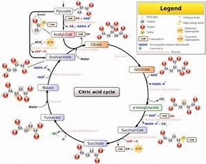 Glucose Metabolism Diagram Pics For  U0026gt  Glucose Metabolism