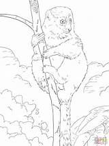 Lemur Coloring Bamboo Pages Lesser Eastern Drawing Madagascar Greater Printable Tailed Ring Getcoloringpages sketch template