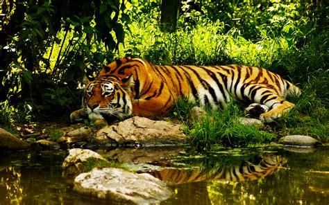 colors  nature tiger hd wallpapers desktop wallpapers