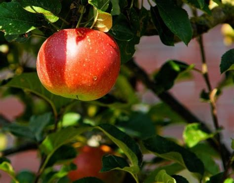 show me a picture of an apple pruning and training fruit trees nashville urban farm