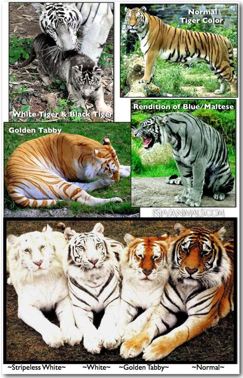Colors Tigers Spy Animals Golden Tabby