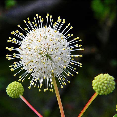 sputnik honey ball white button bush cephalanthus