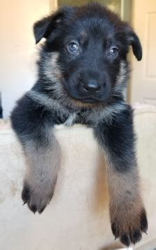 view ad german shepherd dog puppy  sale