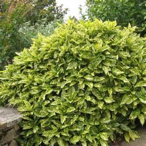 Arbuste De Jardin Decoratif by Arbuste Decoratif Jardin