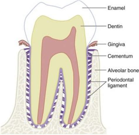 Tooth Bone Diagram by From Our Archives Unexplained Dental Explained