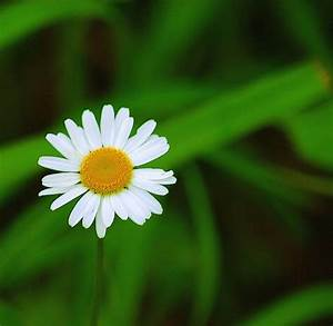 One Daisy Flower Jpg