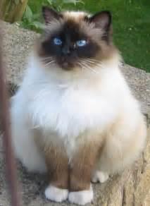 birman cat birman cats pet world
