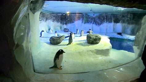 Penguin Colony Settles Into New Home At Sea Life Centre