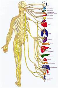 The Nervous System Diagram Unlabeled